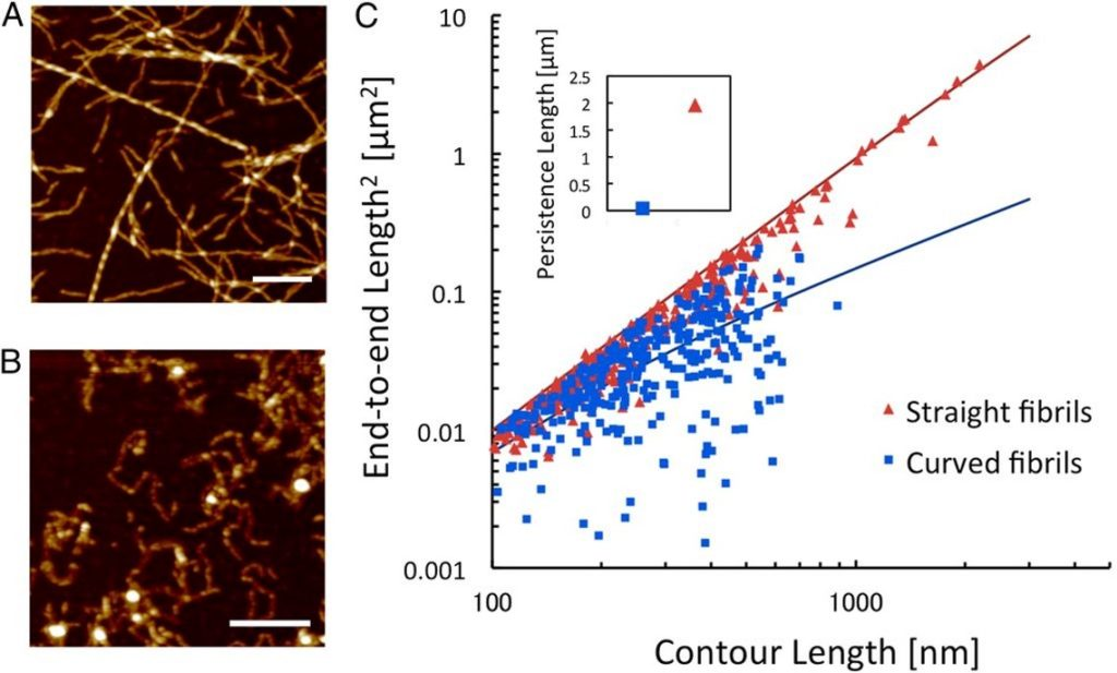 A, B. AFM images of two classes of protein nanofib